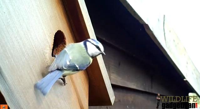 Blue Tit On Nest Box NV HD Thumb