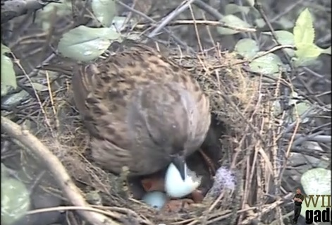 Dunnock Helps Chick Thumb