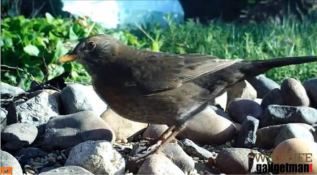 Female Blackbird NV HD Thumb