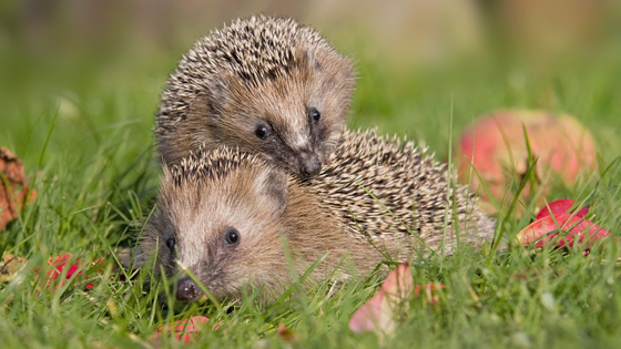 Pet Hedgehog Diet