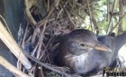 26/02/14 - Blackbird Nest