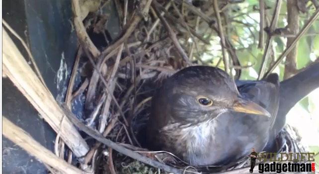 Blackbird-Nest-1-260214-Thumb