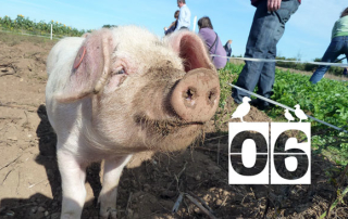 Oak-Tree-Pig-Day-6-Pig-621