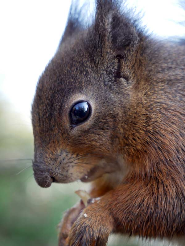 G80 Red Squirrel Close up