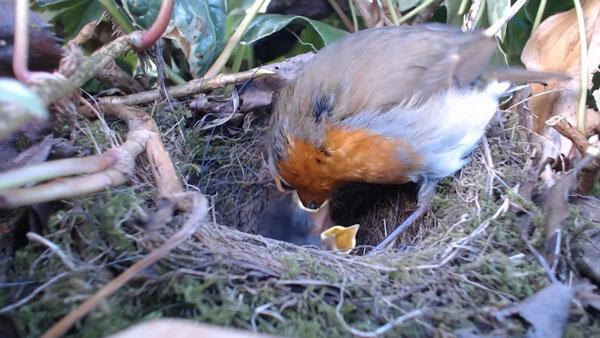 Robin-Feeding-1-150413-600