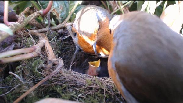 Robin-Feeding-1-160413-600