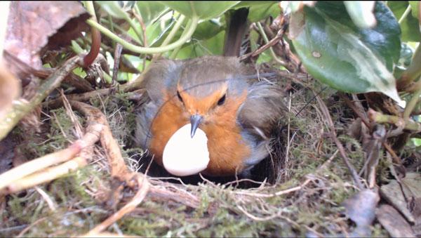 Robin-Nest-Egg-Shell-120413-600