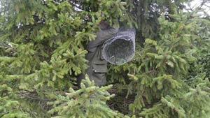 Collared-Dove-cutting-wire-3-300