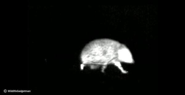 Pulsar-HSQ19-Hedgehog-001-600