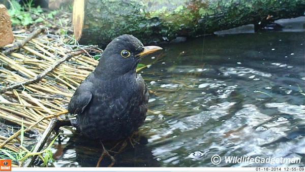 16/01/14 – Blackbird Bathing – Bushnell NatureView HD MAX
