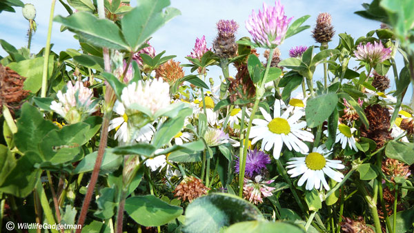 Meadow-flowers-150713-600