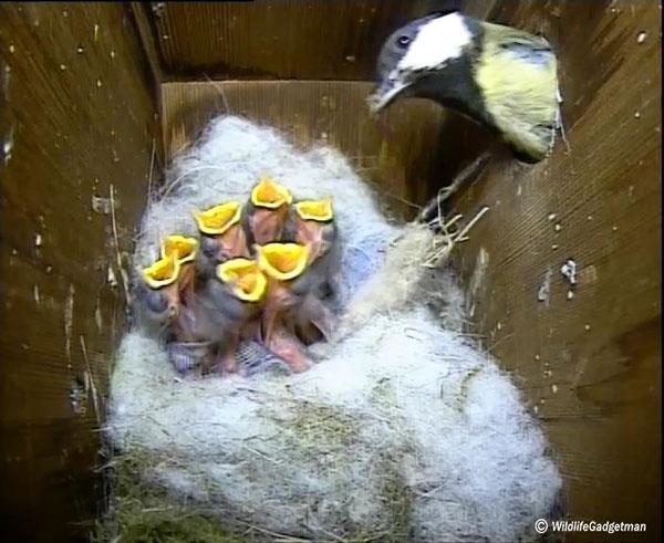 Great-Tit-Nest-Box-2013-05-11-600