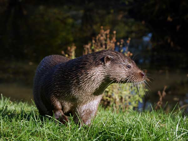 Otter standing on river bank