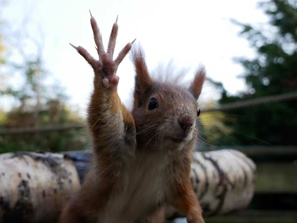 Red Squirrel waving